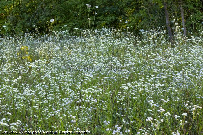 Erigeron annuus meadow