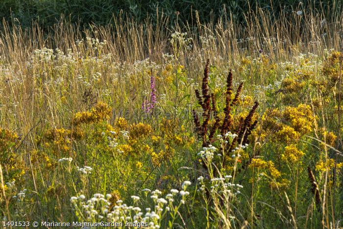 Hypericum perforatum and Erigeron annuus in meadow