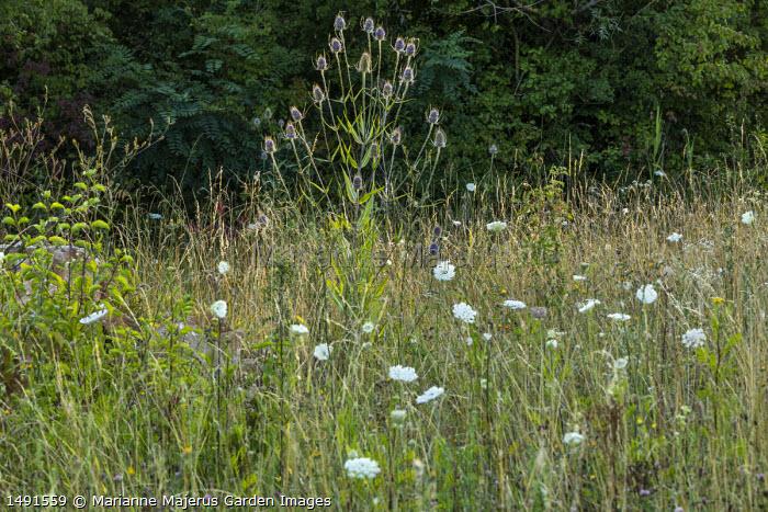 Dipsacus fullonum syn. Dipsacus sylvestris and Daucus carota in wildflower meadow