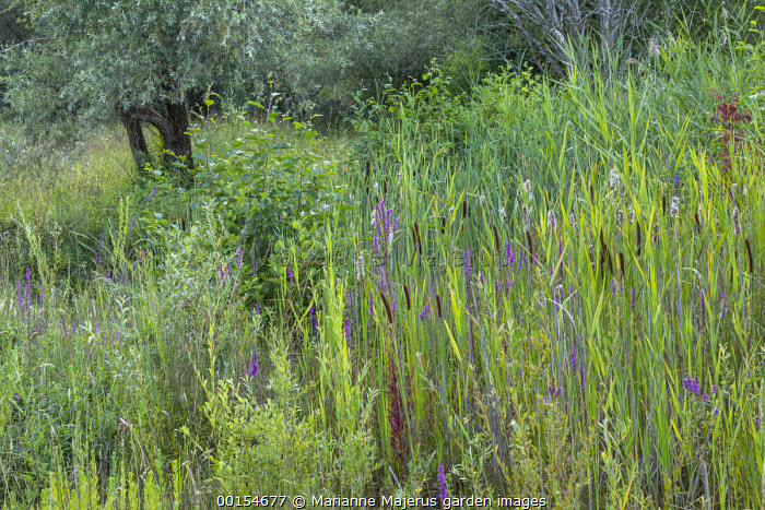 Bulrushes, willow and Lythrum salicaria in damp meadow