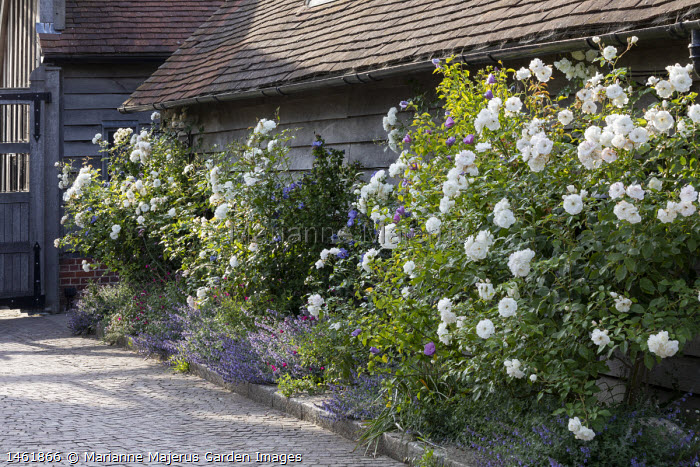 Roses and hibiscus underplanted with nepeta in narrow border by driveway