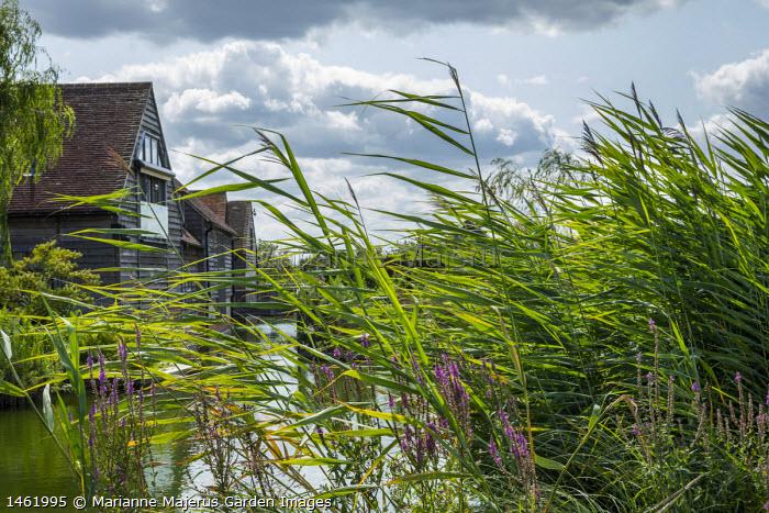 Reeds around pond, Lythrum salicaria