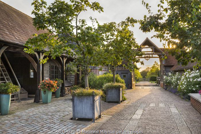 Trees in large containers underplanted with Erigeron karvinskianus in courtyard, stone paving, driveway