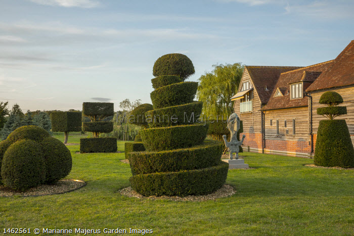 Clipped yew topiary shapes on lawn