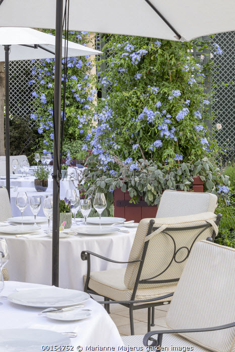 Plumbago auriculata and Plectranthus argentatus in large container, table and chairs under umbrellas on patio
