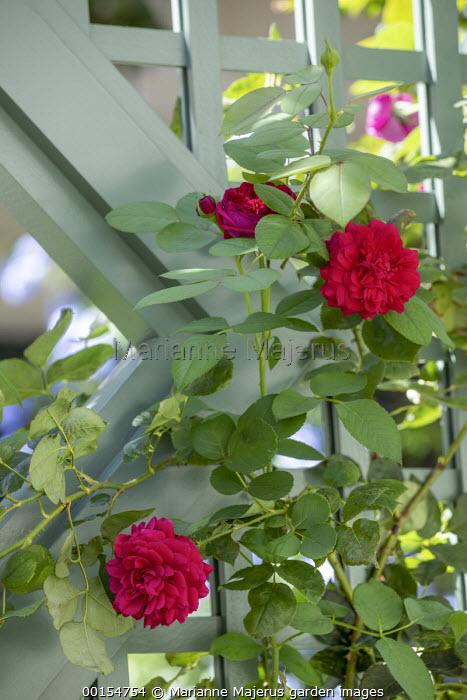 Rosa 'Tess of the d'Urbervilles' climbing on trellis screen