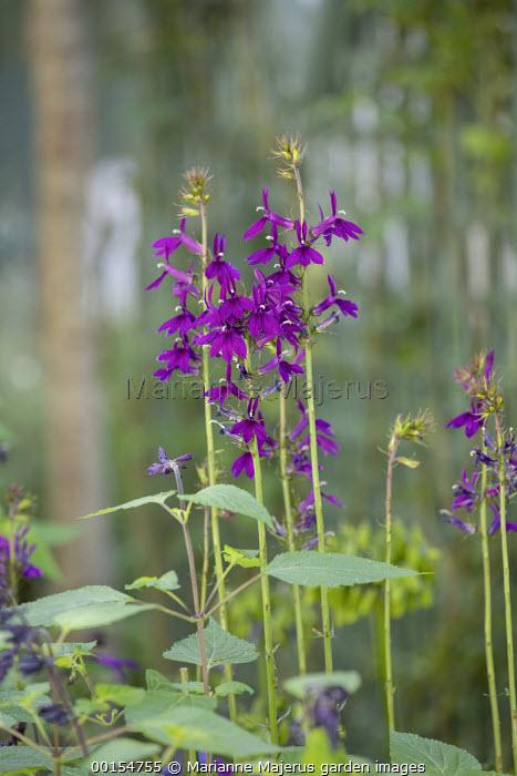 Lobelia × speciosa 'Hadspen Purple'