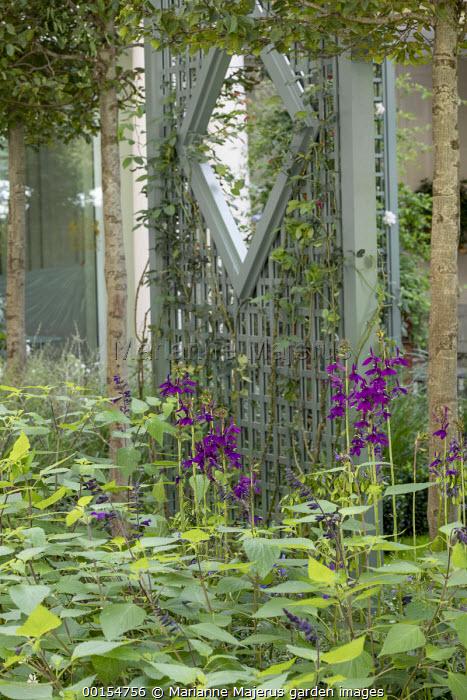 Green painted trellis screen, Lobelia × speciosa 'Hadspen Purple'