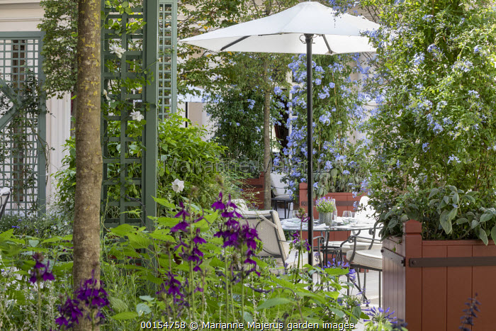 Plumbago auriculata and Plectranthus argentatus in large containers, rose climbing on obelisk, table and chairs under umbrella on patio, Lobelia × speciosa 'Hadspen Purple'
