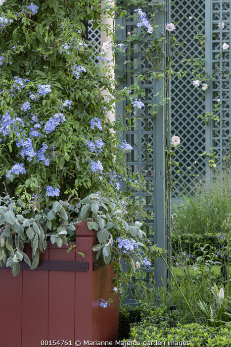 Plumbago auriculata and Plectranthus argentatus in large container, Rosa 'New Dawn' climbing on pillar