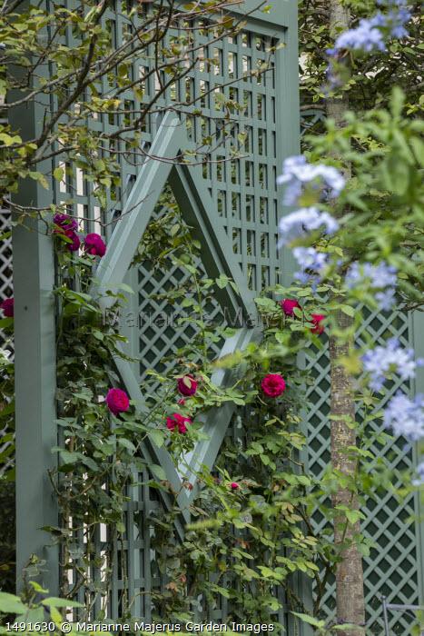 Rosa 'Tess of the d'Urbervilles' climbing on green painted trellis screen