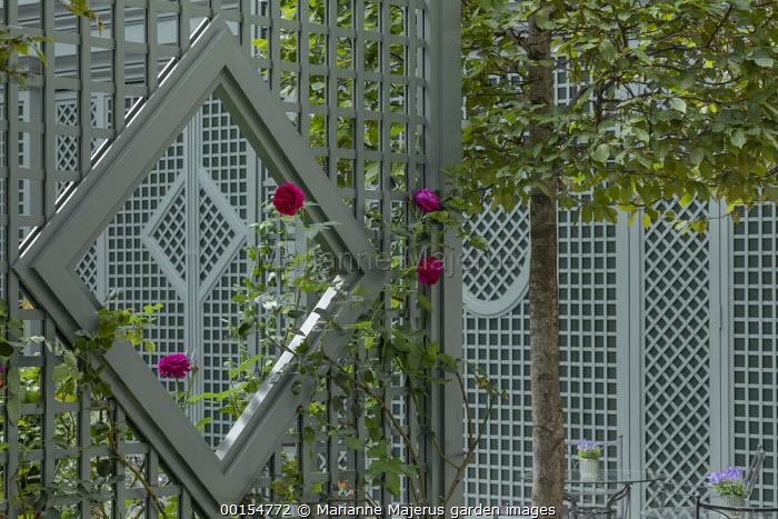 Rosa 'Tess of the d'Urbervilles' climbing on green painted trellis screen, pleached Carpinus betulus
