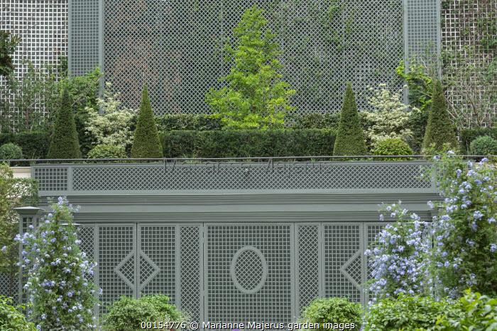 Plumbago auriculata, green painted trellis screen, Taxus baccata pyramids and clipped yew and beech hedges, Magnolia x loebneri 'Merrill', Cornus controversa 'Variegata'