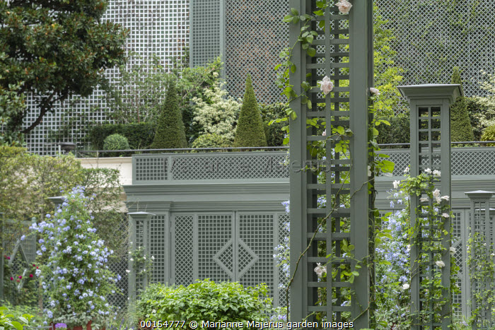Rosa 'New Dawn' climbing on green painted column pillars, Plumbago auriculata, trellis screen, Taxus baccata pyramids, Cornus controversa 'Variegata'