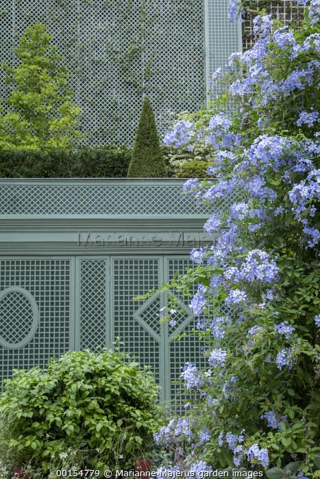 Plumbago auriculata, green painted trellis screen, Taxus baccata pyramid and clipped hedge, Magnolia x loebneri 'Merrill'