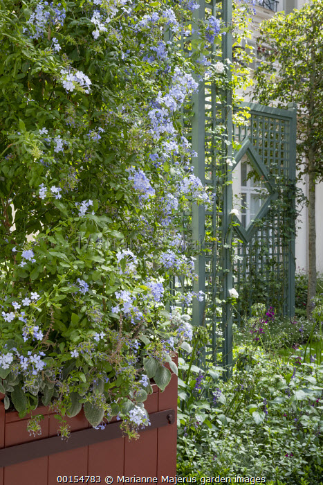 Plumbago auriculata in large container, green painted trellis screens