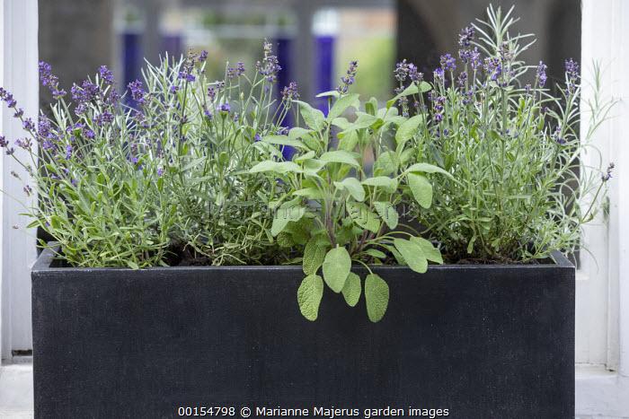 Lavandula angustifolia, Salvia officinalis and Helichrysum italicum in window box