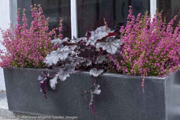Erica gracilis and Heuchera 'Plum Pudding' in window box
