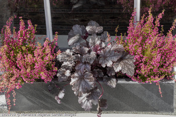 Erica gracilis and Heuchera 'Plum Pudding' in window box