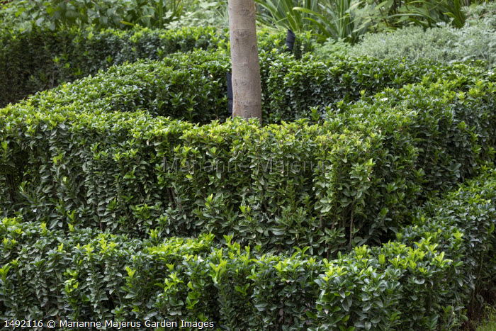 Clipped Euonymus japonicus 'Microphyllus' hedge around tree