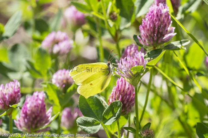 Common Brimstone butterfly, Gonepteryx rhamni, on Trifolium pratense, Red Clover