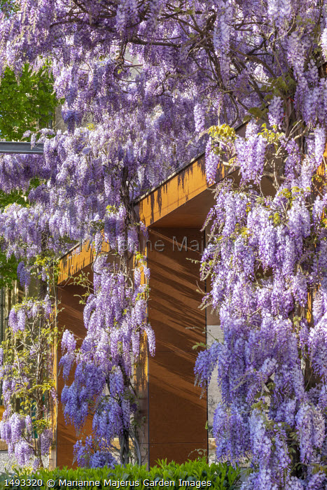 Wisteria sinensis climbing on house