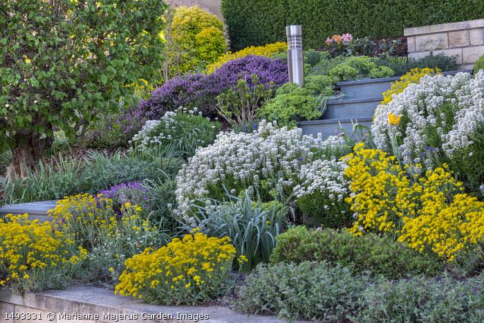 Front garden, steps, alyssum, aubretia and arabis in sloping border