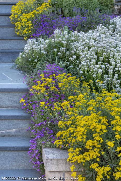 Steps, alyssum, aubretia and arabis in sloping border