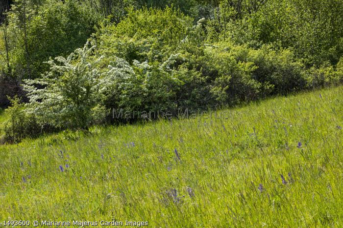 Salvia pratensis in meadow