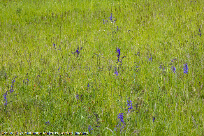 Salvia pratensis in wildflower meadow