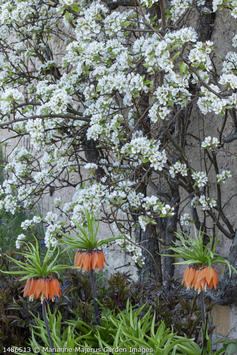 Fritillaria imperialis, wall-trained pear tree