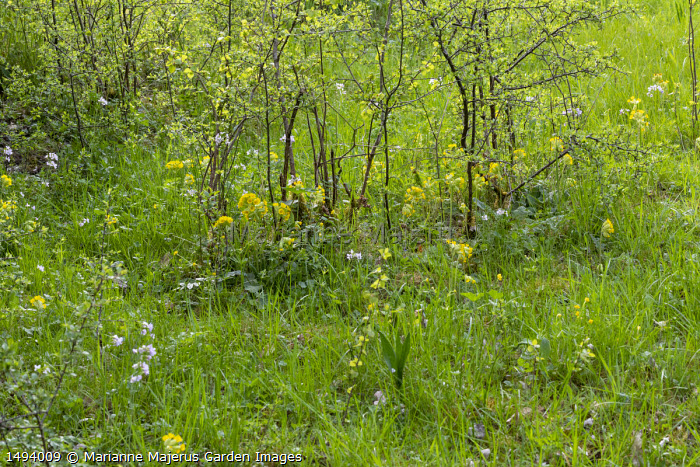 Primula veris and Cardamine pratensis in wildflower meadow