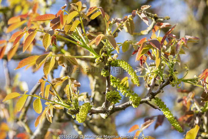 Spring growth and catkins on Juglans regia