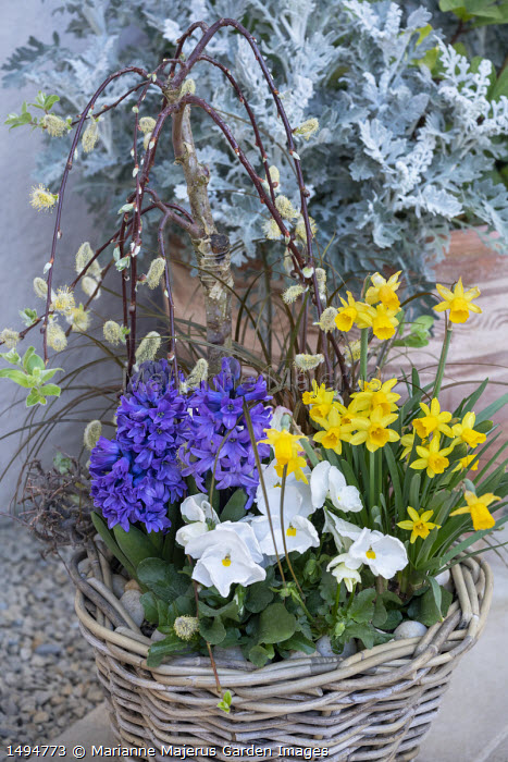 Narcissus 'Tête-à-tête', viola, Salix caprea 'Kilmarnock' syn. Salix pendula in wicker basket, Senecio cineraria