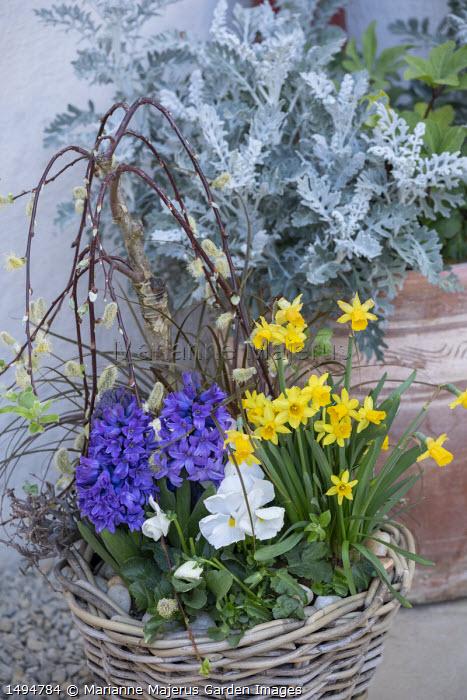 Narcissus 'Tête-à-tête', Hyacinthus orientalis, viola, Salix caprea 'Kilmarnock' syn. Salix pendula in wicker basket, Senecio cineraria