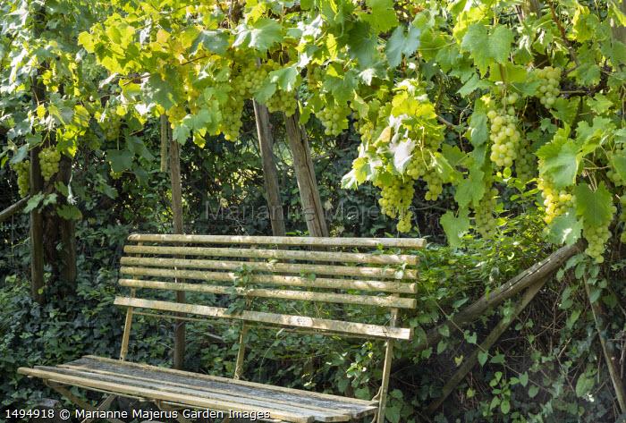 Vitis vinifera 'Königin der Weingärten' by bench