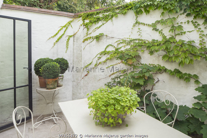 White metal table and chairs on patio in tiny courtyard garden, lightwell, clipped Buxus sempervirens in pots, hydrangea