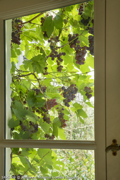 Grape vine climbing around window