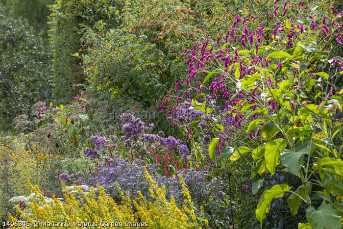 Solidago flexicaulis 'Variegata', Aster 'Prairie Purple', Persicaria amplexicaulis 'Firedance', Phlox 'Jeana', Persicaria orientalis, Rosa moyesii 'Geranium' rosehips
