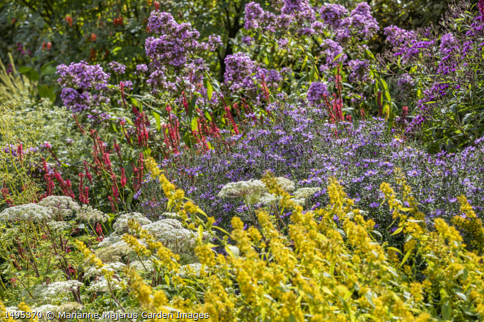 Solidago flexicaulis 'Variegata', Aster 'Prairie Purple', Persicaria amplexicaulis 'Firedance', Phlox 'Jeana', Selinum wallichianum