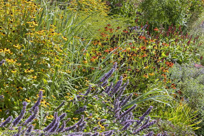 Persicaria amplexicaulis 'Blackfield', helenium, Rudbeckia triloba, Agastache 'Blue Fortune'