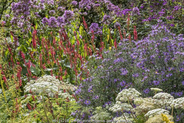 Aster 'Prairie Purple', Persicaria amplexicaulis 'Firedance', Phlox 'Jeana', Selinum wallichianum