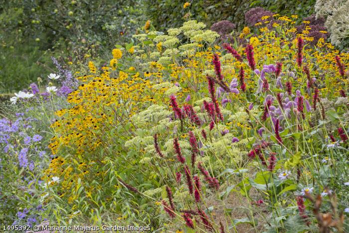 Patrinia monandra, Persicaria amplexicaulis 'Fat Domino', Sanguisorba 'Pink Brushes', Rudbeckia triloba, Aster thomsonii, Cosmos bipinnatus