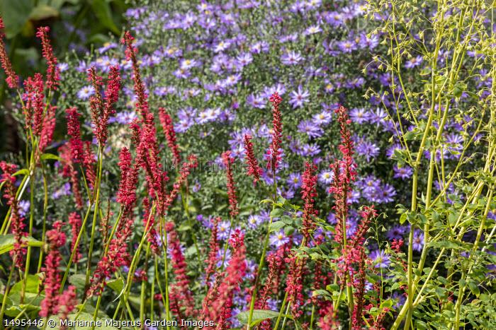 Aster 'Prairie Purple', Persicaria amplexicaulis 'Firedance'
