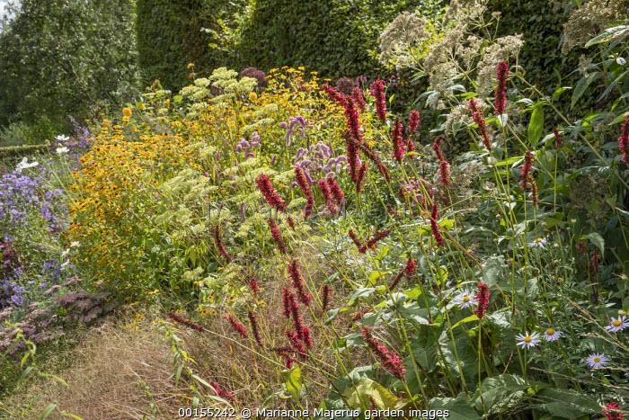 Patrinia monandra, Persicaria amplexicaulis 'Fat Domino', Sanguisorba 'Pink Brushes', Rudbeckia triloba
