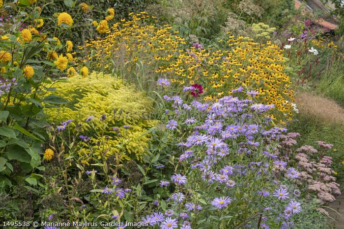 Helianthus multiflorus 'Loddon Gold', Aster thomsonii, Solidago rugosa 'Loydser Crown', Sedum 'Joyce Henderson', Rudbeckia triloba