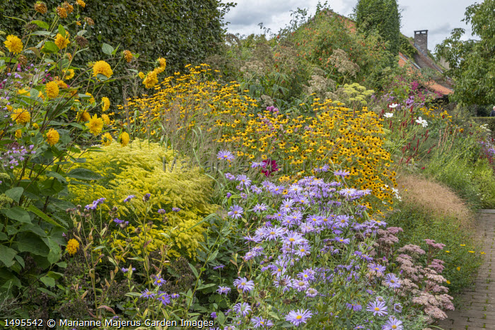 "Helianthus multiflorus 'Loddon Gold', Solidago rugosa 'Loydser Crown', Aster thomsonii, Sedum ""Joyce Henderson"", Rudbeckia triloba, Rosa moyesii 'Geranium'"