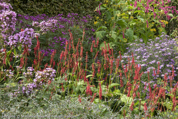 Aster 'Prairie Purple', Persicaria amplexicaulis 'Firedance', Phlox 'Jeana', Vernonia crinata 'Pure Purple', Persicaria orientalis