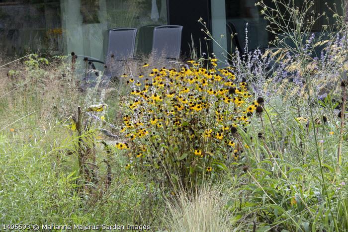 Perovskia 'Blue Spire', Rudbeckia triloba 'Prairie Glow', Echinacea pallida seedheads, Althaea cannabina, Sporobolus heterolepis 'Wisconsin Strain', chairs by house