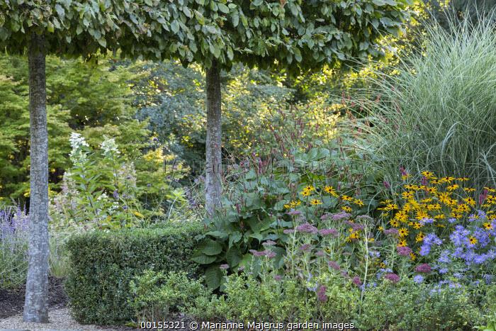 Pleached Carpinus betulus screen, Persicaria amplexicaulis, sedum, Rudbeckia fulgida var. deamii, aster, Miscanthus sinensis 'Morning Calm', box hedge